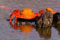 Sally Lightfoot Crabs (Grapsus grapsus) by Danita Delimont