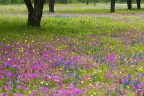 Blue Bonnets springtime near Devine Texas von Danita Delimont