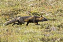 Red Fox stalks its prey at Denali NP by Danita Delimont