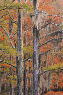 Cypress trees in the fall von Danita Delimont