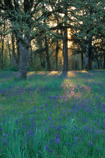 Field of camas and oak trees von Danita Delimont