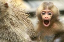 Snow Monkey Baby von Danita Delimont