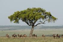 Wildebeest under balanites tree von Danita Delimont