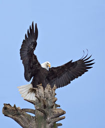 Bald Eagle (Haliaeetus leucocephalus) with wings stretched overhead von Danita Delimont