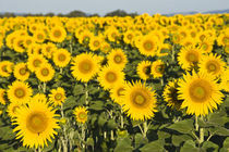 Field of sunflowers von Danita Delimont