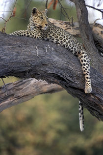 Adult Female Leopard (Panthera pardus) rests on tree limb near Khwai River by Danita Delimont