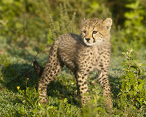 Cheetah cub at Ndutu in the Ngorongoro Conservation Area von Danita Delimont
