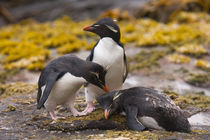 Rockhopper penguins communicate with each other at their colony on New Island in the Falkland Islands by Danita Delimont