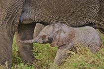 Baby elephant by Danita Delimont
