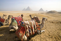 Resting camels gaze across the desert sands of Giza to the famed Egyptian pyramids outside Cairo by Danita Delimont