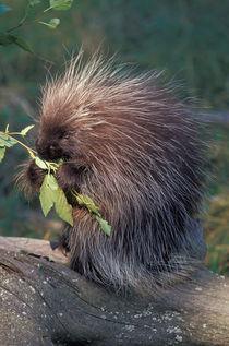 Captive porcupine by Danita Delimont