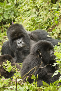 Mountain Gorillas (Gorilla beringei beringei) family group in nest area von Danita Delimont