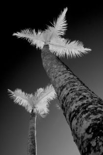 Two infrared palm trees by Danita Delimont
