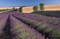 Lavender fields by Danita Delimont