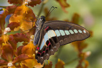 Sammamish Washington Tropical Butterflies photograph of Graphium doson the Common Jay Butterfly on Orchid by Danita Delimont