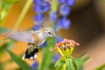 Female rufous hummingbird feeding on flower von Danita Delimont