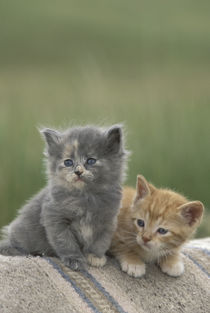 Two barn kittens pose on a horse blanket by Danita Delimont