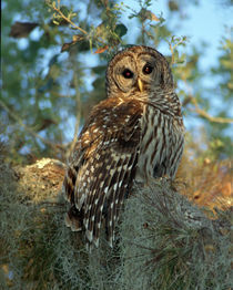 Barred Owl roosting in some Spanish Moss by Danita Delimont