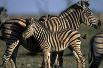 Plains Zebra (Equus burchelli) herd in tall grass at sunset in Savuti Marsh von Danita Delimont