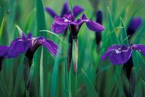 Wild iris by Danita Delimont