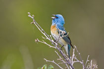 Lazuli Bunting (Passerina amoena) male singing on breeding territory von Danita Delimont