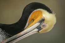 Close-up of brown pelican preening von Danita Delimont