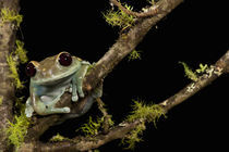 Maroon Eye Frog (Moon Frog); Leptopelis uluguruensis; Native to Tanzania; controlled situation von Danita Delimont