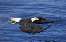 Kenai Peninsula Bald eagle with freshly caught fish in talons by Danita Delimont