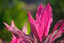 Vinca Rosea /Catharanthus Roseus von Danita Delimont