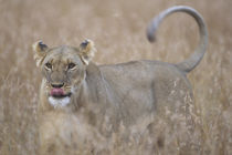 Adult Female Lioness (Panthera leo) in tall grass on savanna von Danita Delimont