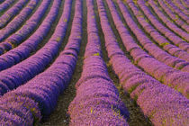 Orderly rows of lavender by Danita Delimont