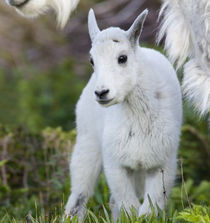 Mountain goat nanny with kid at Logan Pass in Glacier National Park in Montana von Danita Delimont