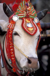 Bull adorned for the festival von Danita Delimont