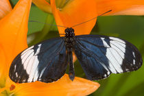 Sammamish Washington Tropical Butterflies photograph of Neotropical butterfly Heliconius cydno the Blue and White Longwing Butterfly on orange Asiaic Lily von Danita Delimont