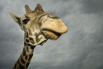 Giraffe von Danita Delimont