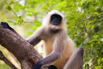 Monkey in jungle of Ranthambore National Park famous for tigers in Rajastan India von Danita Delimont