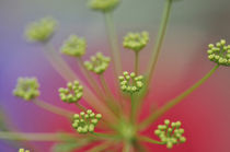 Close-up of Queen Anne's lace wildflower von Danita Delimont