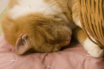 Orange tabby sleeping by Danita Delimont