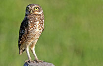 The Burrowing Owl in the Pantanal von Danita Delimont
