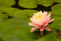 Pink and white hardy water lily surrounded by green lily pads covered with raindrops von Danita Delimont