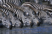 Plains Zebra herd (Equus burchelli) drinking from shallow Telek River by Danita Delimont