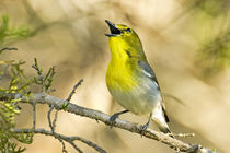Male yellow-throated vireo singing von Danita Delimont