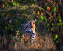 Leopard (Panthera Pardus) as seen in the Masai Mara by Danita Delimont