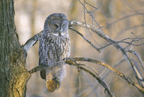 Great gray owl perched on tree limb at sunset von Danita Delimont