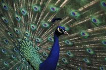 Male peacock displaying feathers for female by Danita Delimont