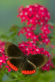 Biblis hyperia the Crimson-banded Black Butterfly by Danita Delimont