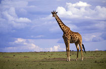 Kenyan Giraffe (Giraffe camelopardalis tippelskirchi) von Danita Delimont