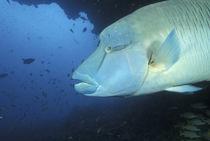 Napoleanfish (Chelinus undulatus) von Danita Delimont