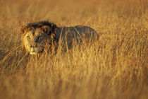 Adult Male Lion (Panthera leo) in tall grass on savanna by Danita Delimont