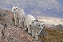 Three mountain goat kids on rock von Danita Delimont